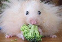Hamsters / Hamsters