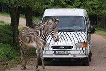 OFFROAD SAFARI (s africkou večeří) / Jen vy, stáda zvířat a spolehlivý průvodce. Zažijte podvečer mezi stády zvířat na pastvině Serengeti. Až vás přijde pozdravit zebra na vzdálenost ruky, zatají se vám dech. Jízdu můžete zakončit pravou africkou večeří po návratu z divočiny.  Pro více info klikněte sem: http://www.impresio.eu/zazitek/offroad-safari-s-africkou-veceri