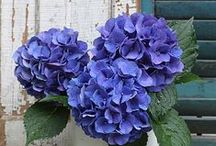 Hydrangea Love / A favorite flower I hope to grow one day soon. / by Rebecca Smith