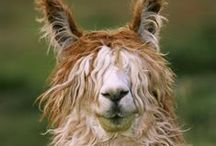 Alpakas, lamas and other wooly creatures / Because they're hilarious.