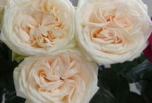Roses - All Year Round / A selection of available year round roses
