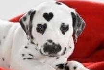 Dálmata, Dalmatian