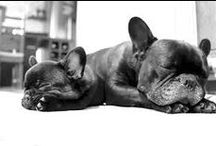 Frenchie love <3 / Frenchie love