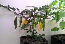 Omat chilit / Homegrown chilies, from seed to fruit, several times over.
