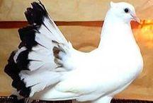 Güvercinler -Pigeon