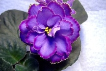 African Violets / by Sharon Deleske