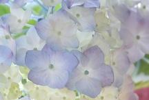 Hydrangeas / by Barbara Buchanan