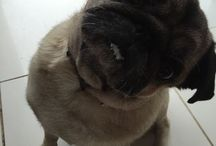 Pugs / One of my favourite dog breeds!