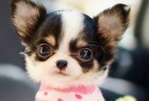 Chihuahua  / like my chihuahua , Daisy