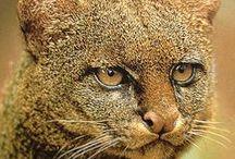 Koty jaguary tygrysy lwy i ....