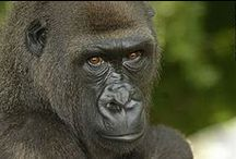 Ape Conservation / The My Gorilla - My Community (Nigeria, Cameroon), My Chimpanzee - My Community (Rwanda and Burundi), and My Western Chimpanzee - My Community (Liberia, Sierra Leone) projects are creating Entertainment-Education programming that address issues of conservation for these endangered animals.