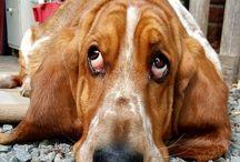 Basset / Dog's