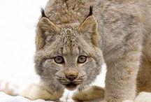 Linces / Lynx