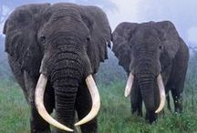 Elefantes / Elephants