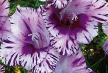 Pin! Gladiolus Bulb Flower
