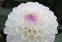 Pin! Dahlia Bulb Flower