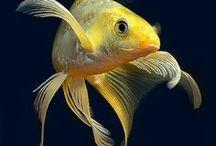 Les amis des koi sont nos amis / Autres poissons