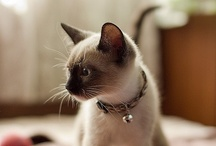 Siamese Cats / or pointed color cats are  'goddess' for me