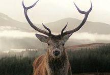 Scotland's Wildlife / Scotland is home to many magnificent wildlife creatures.