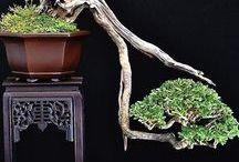 Bonsai - Pictures