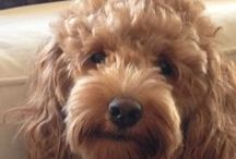 labradoodles / all about labradoodles. I have one and he has to be the most beautiful natured dog ever!!
