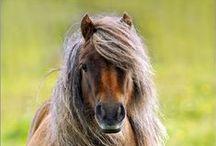 Ponydinge
