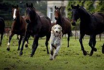 Irish Wolfhound & Deerhound