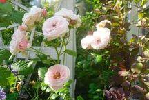 RosesandWeeds / My Garden