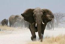 African Wildlife /