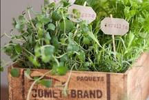 Erbe aromatiche / Herbs