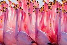 Pink Alingos