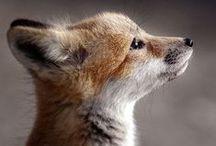 Foxy Lou