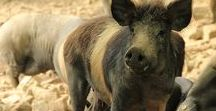 Italian Pigs / Signore Pig is treated very well in Italy. He is respected as a symbol of plenty.