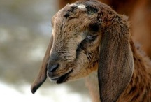 Nubische geiten.  / Gewoon omdat ik ze leuk vind.