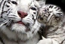 Tigers / Tigers are my favourite animal. They are beautiful, powerful and majestic.