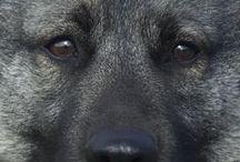 Norwegian Elkhounds/Norwegische  Elchhunde / by Agnes Ontyd