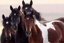 beautiful horses / gyönyörű lovak