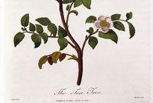 Camellia Sinensis/ Tea Plant / Tea plant & tea leaves