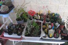 Mi colección de Cactus y Plantas Crasas o suculentas / Estos son los pequeños ejemplares que forman mi colección de Cactus y crasas.