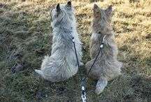Chili (Churchill) and Winston / pictures of my two cairn terriers