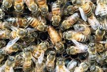 Honeybees & Other Pollinators / Photos from our bee yards and other images of bees and pollinators that we enjoy.