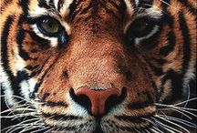 For the love of Tigers <3