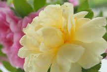 Lemon and Rose pink