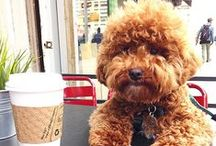 Poos and doodles / Designer dogs, Hybrid dogs, poodle mixed with other breeds,