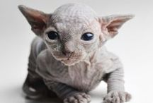 Sphynx Cat - our new family member
