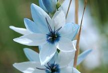 Flowers / Dansende tulp