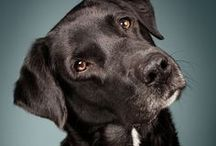Black Lab's | A Tribute to Buddy / We recently lost our second beautiful Labrador Buddy, we miss him dearly...