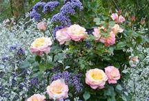 GARDEN – Roses