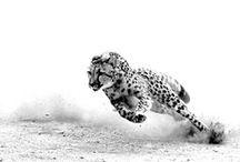 Большие кошки*Pantherinae / Следующие роды и виды относят к большим кошкам:  род пантеры (Panthera) лев (P. leo) ягуар (P. onca) леопард (P. pardus) тигр (P. tigris) род дымчатые леопарды (Neofelis) дымчатый леопард (N. nebulosa) борнейский дымчатый леопард (N. diardi), до недавнего времени рассматривался как подвид дымчатого леопарда (N. n. diardi) род Uncia снежный барс (U. uncia), вид нередко рассматривается в составе рода Panthera (P. uncia)
