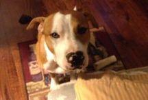 Pitbulls oh my! / Dogs, pitbull / by Jazmin Parra-Novoa